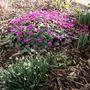 Cyclamen coum in February