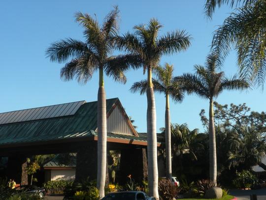 Roystonea regia - Cuban Royal Palms at the entrance of the Catamaran Resort (Roystonea regia - Cuban Royal Palm)