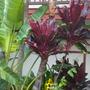 Cordyline fruiticosa - Ti Leaf