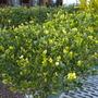 Gardenia jasminoides 'Mystery' - Mystery Gardenia
