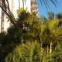 Pandanus ultilis - Screw Pine; Dypsis lutescens - Butterfly Palm (Pandanus ultilis - Screw Pine; Dypsis lutescens - Butterfly Palm)