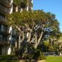Aloe barberae (syn. Aloe bainesii) - Tree Aloe (Aloe barberae (syn. Aloe bainesii) - Tree Aloe)
