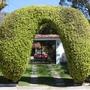 Archway of ficus benjamina (ficus benjamina)