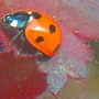 Ladybird_on_leaf