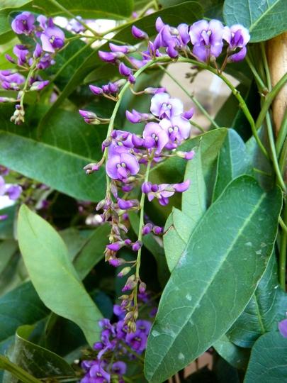 Hardenbergia violacea (Hardenbergia violacea (Australian Sarsaparilla))