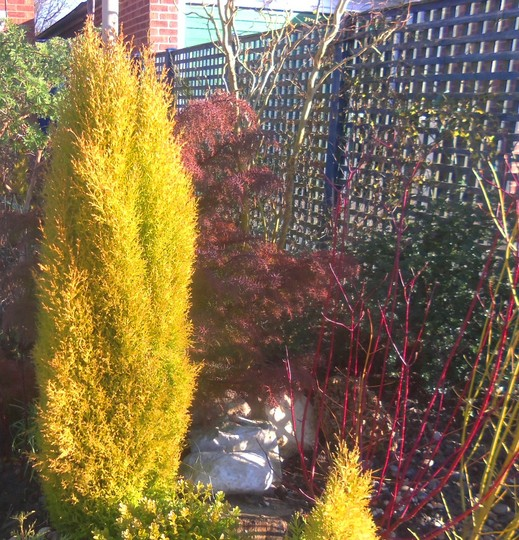 Conifer Cupressus - just adore it and its friends :)