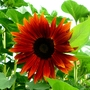 Red sunflower (Helianthus annuus (Sunflower))