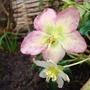 Hellebore 'Christmas Rose' (Helleborus)