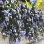 Neighbour_s_blue_trumpet_flower_wall