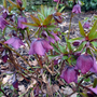 Hellebores at Millichope Hall