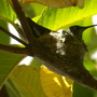 Hummingbird Nest in Tropical Guava Tree (Hummingbird Nest in Tropical Guava Tree)