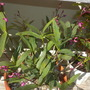 Dedrobium kingiana - Rock Orchid (Dedrobium kingiana - Rock Orchid)