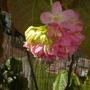 Dombeya wallichii - Tropical Hydrangea, Pink Ball Tree
