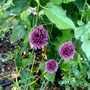Group of alliums next to Mulberry tree (Allium ostrowskianum)