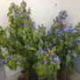 Eranthemum pulchellum - Tropical Blue Sage (Eranthemum pulchellum - Tropical Blue Sage)