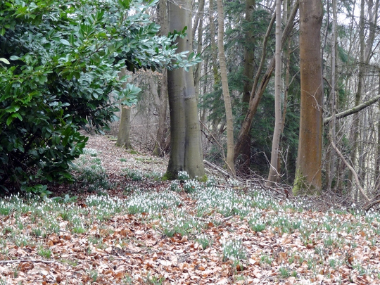 drifts of snowdrops  in Millichope woods