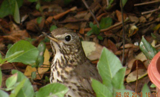 garden visitor thrush