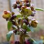 Helleborus sternii : Beatrice Le Blanc (Helleborus x sternii (Hellebore))