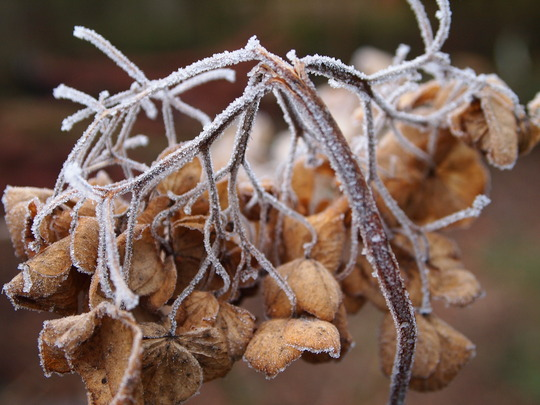 Frost on Hydrangea head