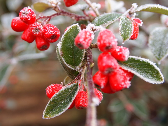 Berry Berry cold outside!