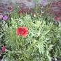 Old_fashioned_flower_garden_july_3_2008