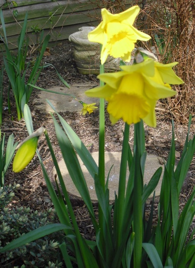 Daffodils in the sun yesterday