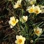 Crocus 'Cream Beauty' (Crocus chrysanthus (Crocus))