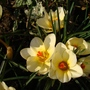 Crocus 7 (Crocus chrysanthus (Crocus))