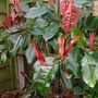 Photinia 'Red Robin' (Photinia x Fraseri Red Robin)