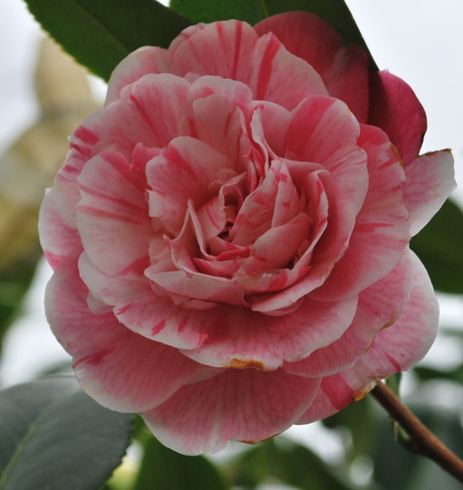 First of the Camellias to open..... (Camellia japonica (Camellia)?)