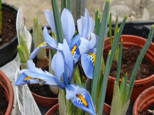 Iris reticulata 'Alida' (Iris reticulata 'Alida')