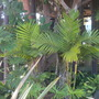 Young Ptychosperma elegans - Solitaire Palms at Paradise Point Resort, San Diego, CA (Ptychosperma elegans - Solitaire Palm)