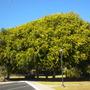 Three Large Ficus bejamina - Weeping Figs at Paradise Point Resort, San Diego, CA.  (Ficus bejamina - Weeping Fig)