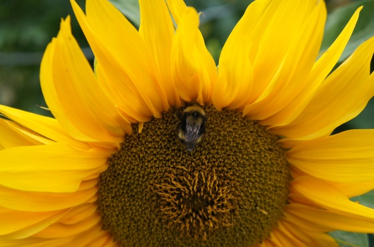 Helianthus, Mixed Bunch 3, with Mr Bee
