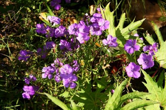 Dianthus, Siberian Blue (Dianthus amurensis (Amur Pink))