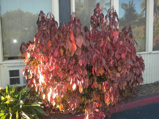 Acalypha Wilkesiana Macafeana Copper Leaf Grows On You