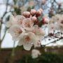 Prunus blossom March 2013