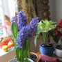 Hyacinths , past their best .