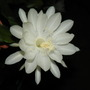The night Queen  (Epiphyllum oxypetalum)