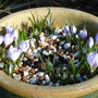 Bluebirds on a lovely sunny spring day (Crocus 'Blue Bird')