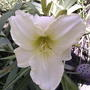 White daylily bloom (Hemerocallis 'Cool It')