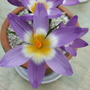 Crocus Tricolor