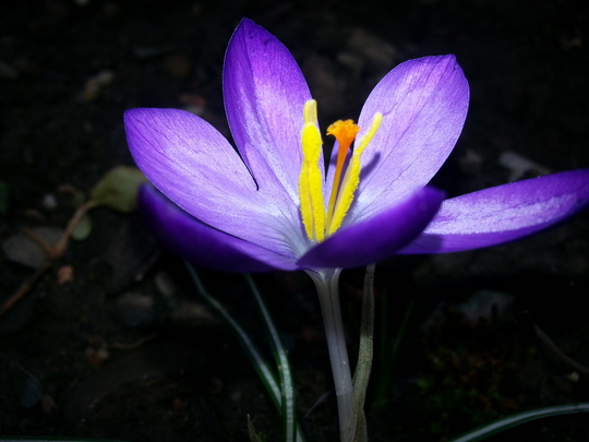 Lonely little crocus (Crocus)