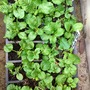 Prim and poly seedlings.