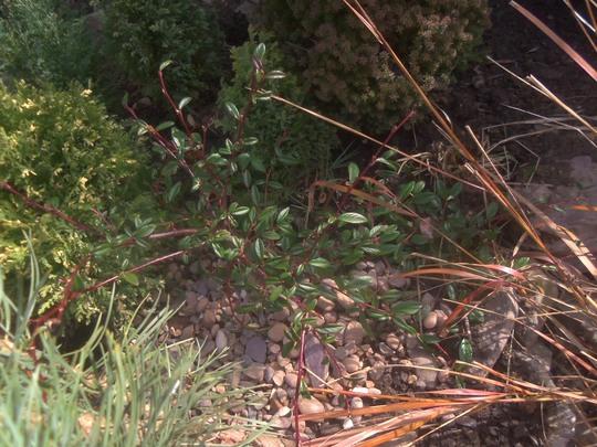 cotoneaster salicifolius parkteppich  (cotoneaster salicifolius parkteppich)