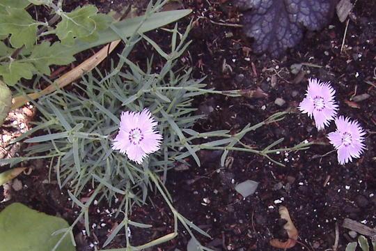 Bath's Cheddar Pinks (Dianthus 'Bath's Pink')
