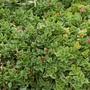 Aptenia cordifolia (Aptenia cordifolia)