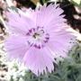 Pinks (Dianthus 'Bath's Pink')
