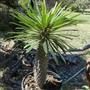 Pachypodium lamerei