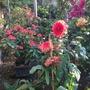 dahlia and euphorbia